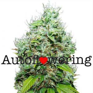 NYC Diesel Autoflower fem marijuana seeds