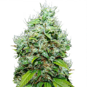 NYC Diesel Feminized marijuana seeds