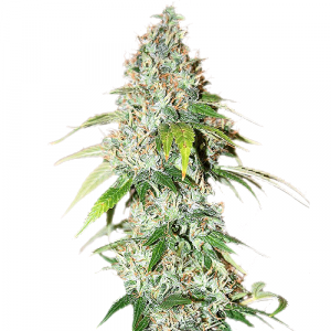 OG Kush Feminized Marijuana seeds