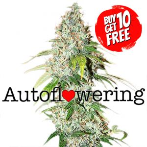 OG Kush Autoflower cannabis seeds