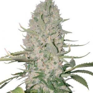 Power Plant Feminized