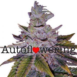 Purple Kush Autoflower Marijuana seeds