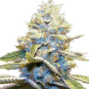 Skywalker OG Feminized Cannabis Seeds