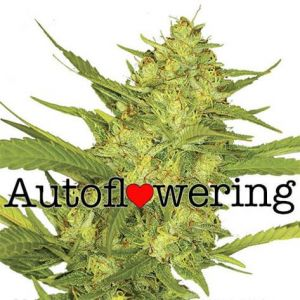 Sour Diesel Autoflower Cannabis Seeds