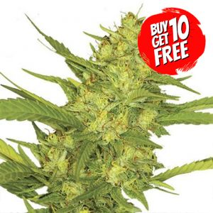 Sour Diesel Feminized Marijuana Seeds