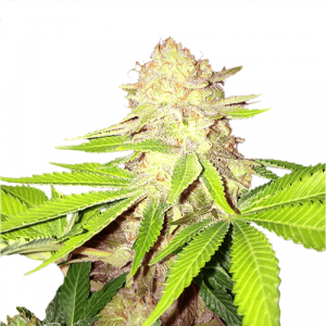 Strawberry Kush Feminized Marijuana Seeds