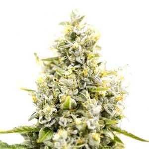 Sunset Sherbet Feminized Marijuana Seeds