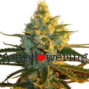 Super Lemon Haze Autoflower Marijuana Seeds