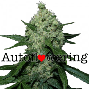 Super Skunk Autoflower Marijuana Seeds