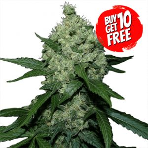 Super Skunk Feminized Marijuana Seeds