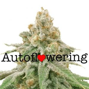 Wedding Cake Autoflower Marijuana Seeds