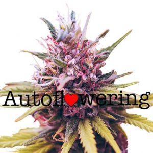 Zkittlez Autoflower Marijuana Seeds