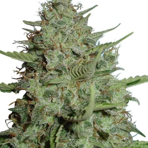strains for anxiety
