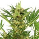 AK-47 Feminized Marijuana seeds