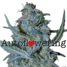 Blue Cheese Autoflower Marijuana seeds