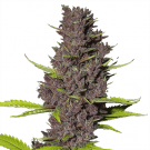 Blue Dream Feminized Marijuana Seeds