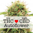 CBD Kush Autoflower Marijuana Seeds