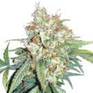 Cherry Pie Feminized Marijuana Seeds