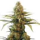 Chronic Widow Feminized Marijuana Seeds