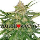 Critical Mass Autoflower cannabis seeds