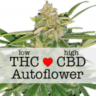 Critical Mass CBD Autoflower cannabis seeds
