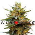 G13 Autoflower Marijuana seeds