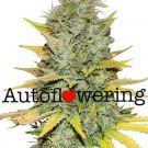 Gold Leaf Autoflower Cannabis Seeds