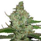 Hindu Kush feminized marijuana seeds