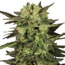 MK Ultra Feminized marijuana seeds