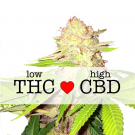 Strawberry Cough CBD Feminized Marijuana Seeds